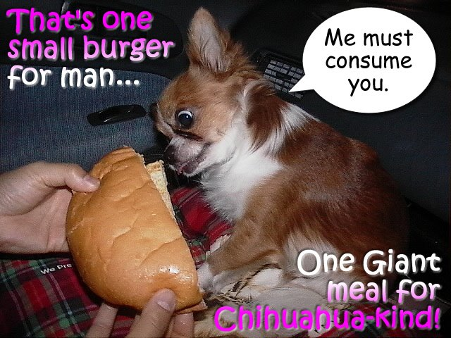 From TigerSan's PhotoBlog: That's one small burger<br />for man... One Giant meal for Chihuahua-kind! Me must consume you.