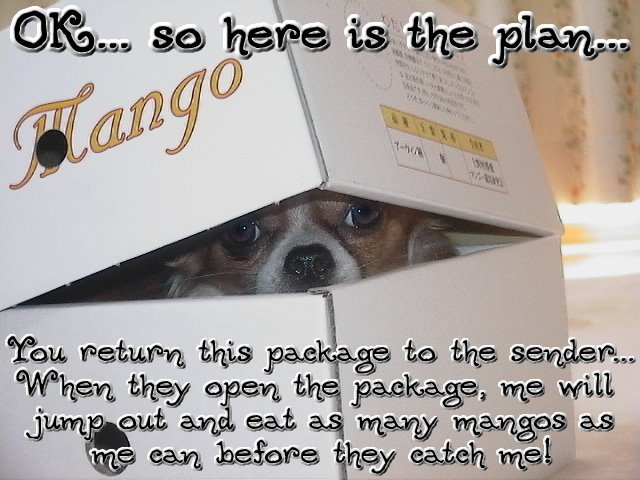 From TigerSan's PhotoBlog: OK... so here is the plan... You return this package to the sender... When they open the package, me will jump out and eat as many mangos as me can before they catch me!