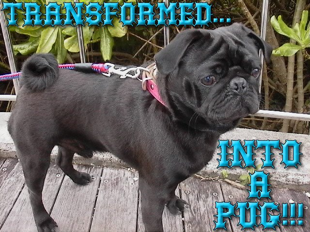 From TigerSan's PhotoBlog: Transformed... into a PUG!!!