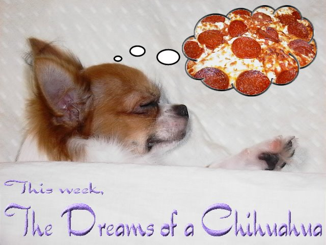 From TigerSan's PhotoBlog: This week, the dreams of a Chihuahua