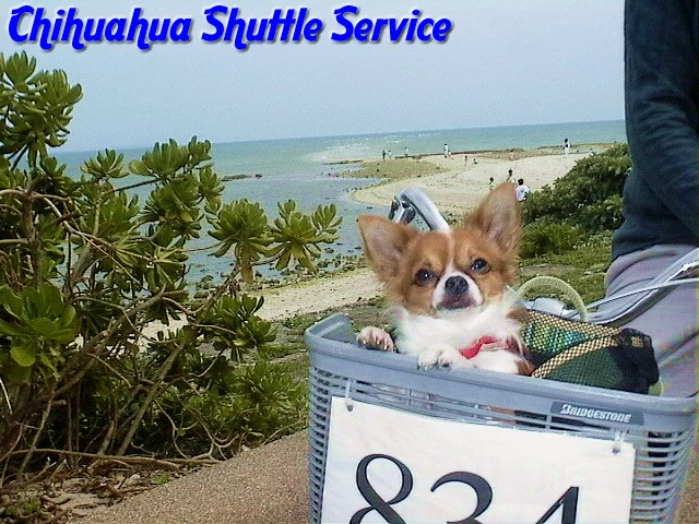 From TigerSan's PhotoBlog: Chihuahua Shuttle Service