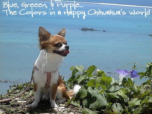 From TigerSan's PhotoBlog: Blue, Green, & Puprle... The Colors in a Happy Chihuahua's World