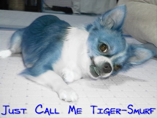 From TigerSan's PhotoBlog: Just call me Tiger-Smurf