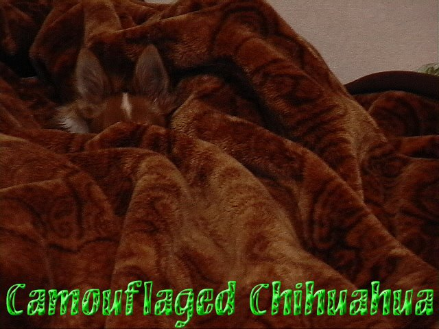 From TigerSan's PhotoBlog: Camouflaged Chihuahua