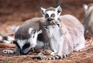 ringtailed lemurs eating