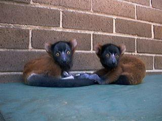 ruffed lemur twins