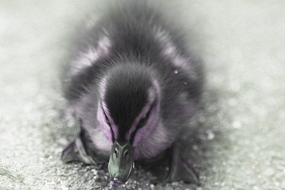 Duckling dreaming