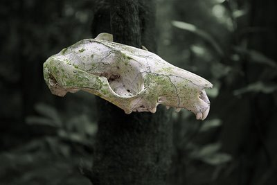 Possum skull
