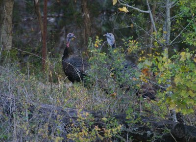 Wild turkeys on the Bamberger Ranch. ©2006 Chris W. Johnson.