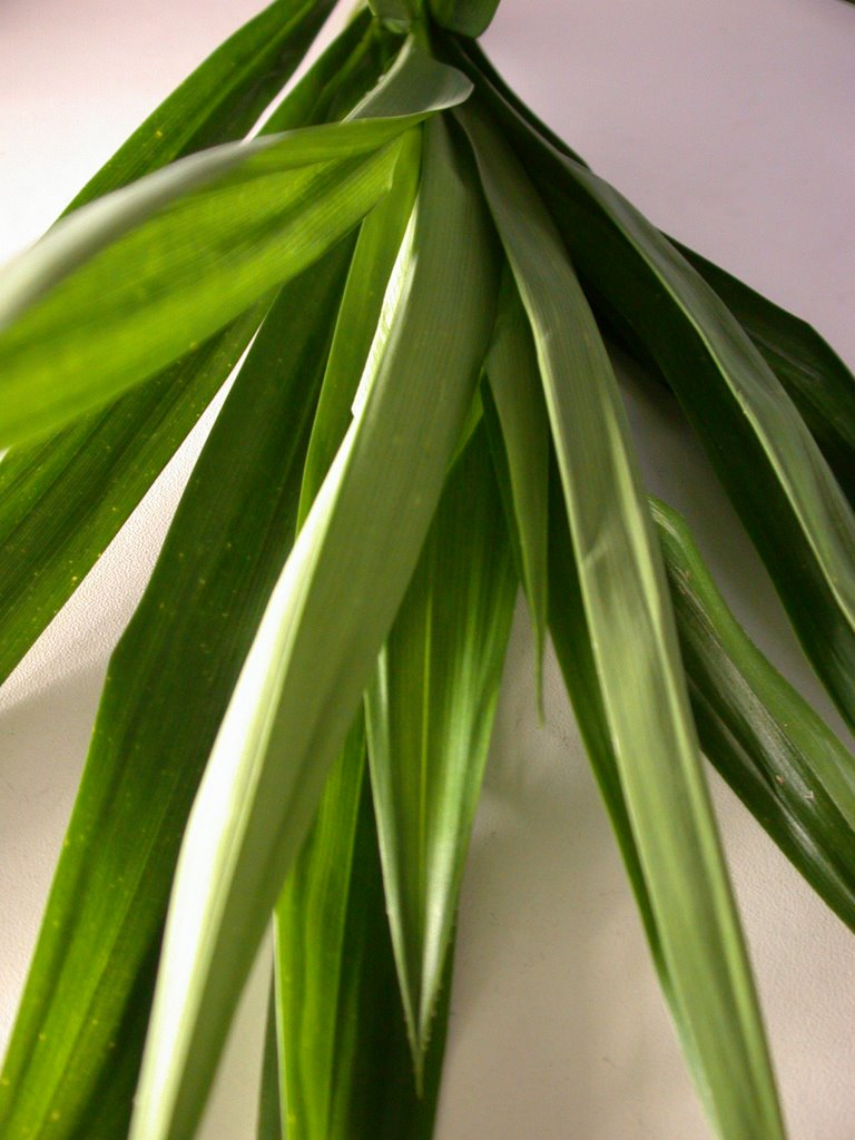 pandan leaves as cockroach repellant essay Escherichia coli and micrococcus (staphylococcus) there are some reports that the leaves can be used as cockroach repellent that pandan leaves contain.