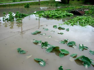 Neighbor's flooded garden, Shimane.