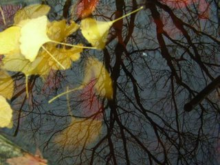 Ginko leaves reflection