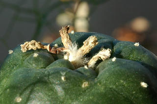 Dry Lophophora williamsii fruit