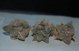 Ariocarpus fissuratus (SB413)