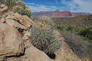 Echinocactus polycephalus overlooks the Tonto Platform