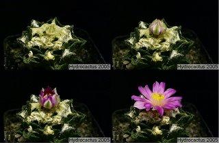 Flowering Ariocarpus fissuratus var. hintonii