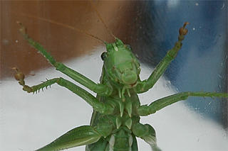Captured great green bush-cricket