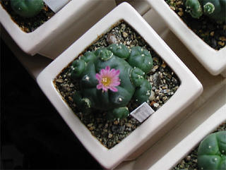 Flowering Lophophora williamsii v. jourdaniana