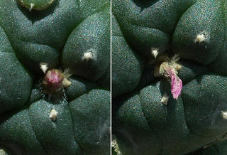Flowering Lophophora williamsii v. jourdaniana (before and after)
