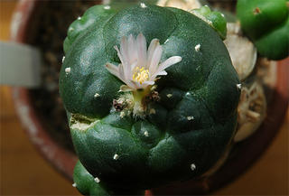 Flowering Lophophora williamsii