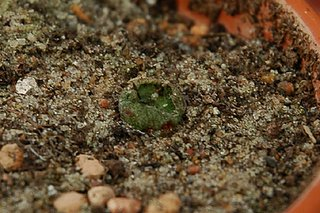 Lophophora diffusa (JR; Higuerillas, Queretaro) remains