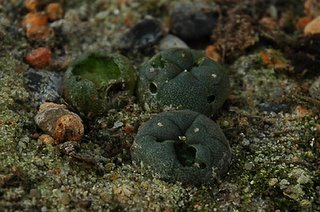 Maimed Lophophora williamsii (SB 854; Starr Co, Texas)