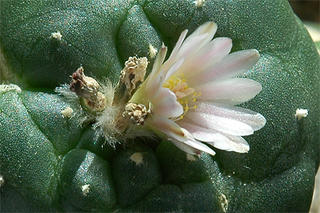 Lophophora williamsii flower