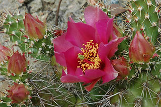 Opuntia 'Claude Arno'