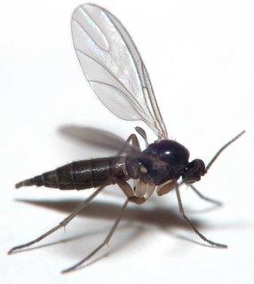 Sciarid fly (fungus gnat)