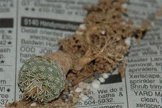 Strombocactus disciformis (SB174)