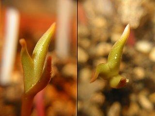 Tricotyledon Opuntia seedling