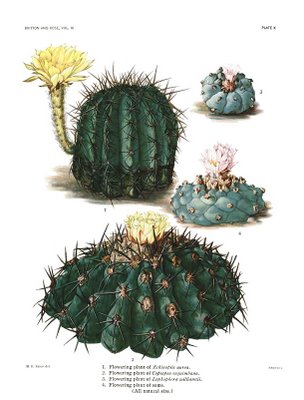 Britton and Rose, The Cactaceae, Volume III, Plate X