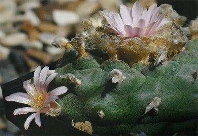 Lophophora williamsii KuaS 2006 07a