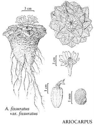Ariocarpus fissuratus var. fissuratus drawing