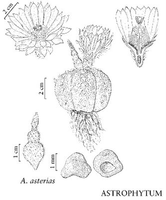 Astrophytum asterias drawing