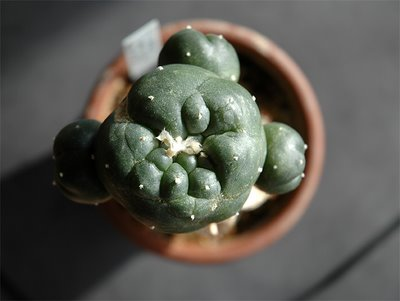 Grafted Lophophora williamsii (SB 854; Starr Co, Tx)