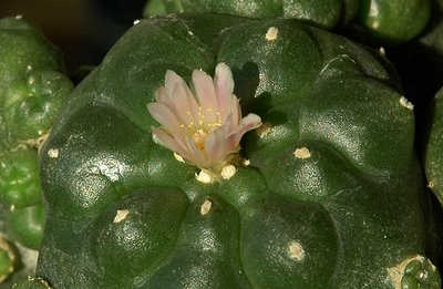 Lophophora williamsii var. caespitosa flower