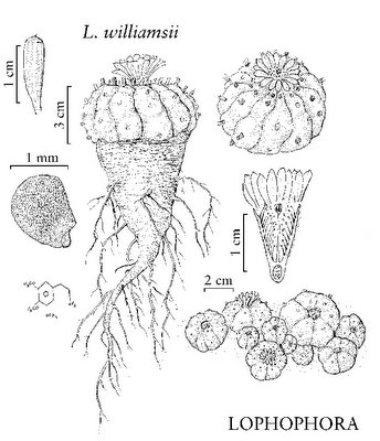 Lophophora williamsii drawing