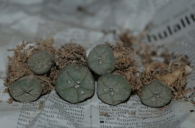 Lophophora williamsii, Pecos River, Val Verde Co.