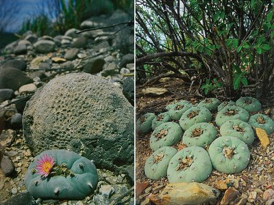 lophophora williamsii and diffusa habitat photos