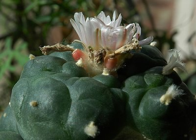 Lophophora williamsii fruits