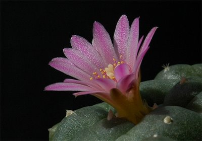 Lophophora williamsii v. jourdaniana flower