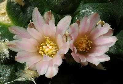 Lophophora williamsii with two flowers