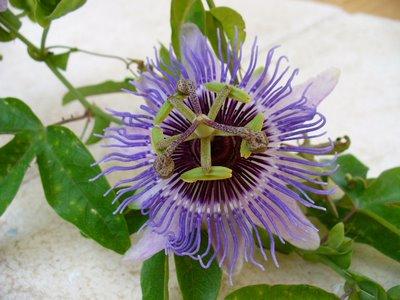 verdaderamente es una flor curiosa, la planta es bastante común, en latitudes más al sur el fruto es comestible: se llama, cómo no, fruta de la pasión; el fruto de éstas es bastante insulso, si llega alguno a buen puerto os pondré una foto