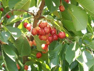 cherries - Zillah, WA
