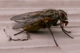 Digger is copyrighted so here's a housefly