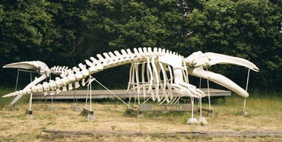 The Portland FreelancerHumpback Whale Skeleton Diagram