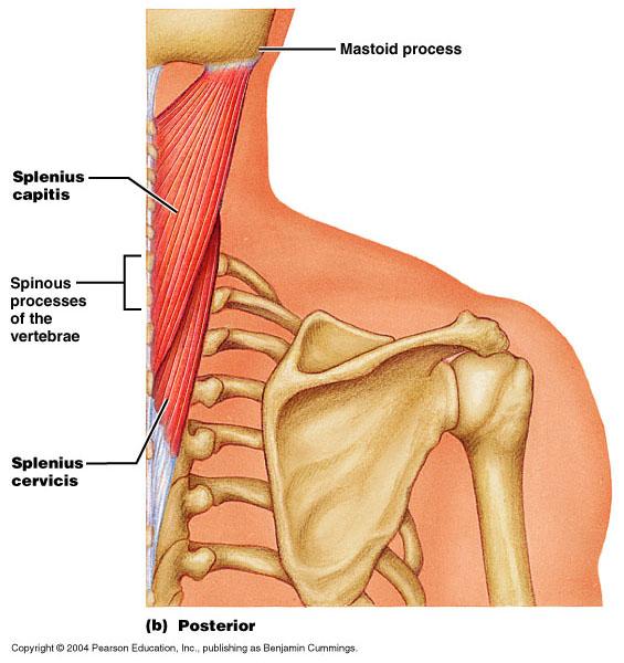 Bio 240 Human Anatomy Muscles Of The Head Neck