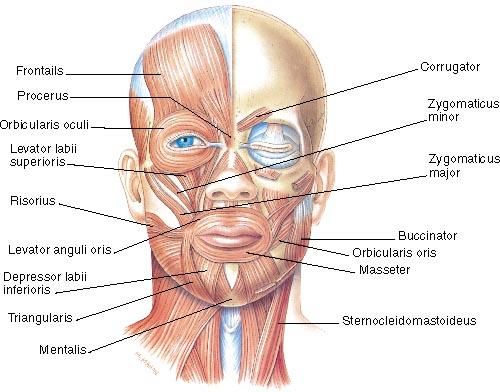 BIO 240 Human Anatomy: Muscles of the Head & Neck