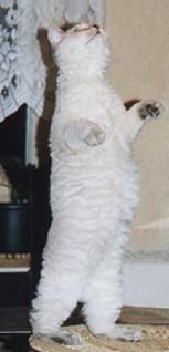 Gambar Kucing Berdiri godean.web.id